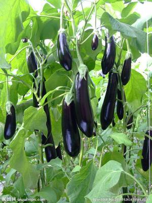 辽宁省鞍山市海城市紫长茄 20cm以下 长茄