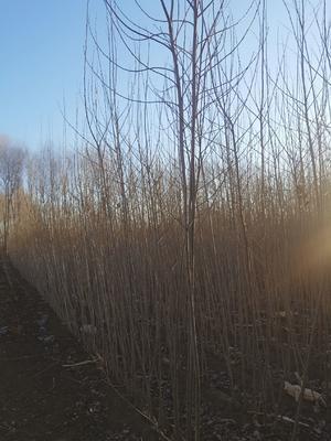 吉林省松原市扶余市小城黑杨树