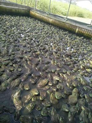 四川省达州市宣汉县生态牛蛙
