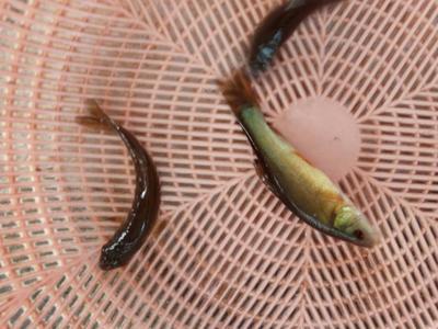 重庆铜梁区丁桂鱼 人工养殖 0.05公斤