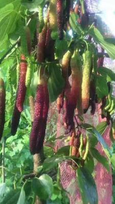 长果桑苗 台湾四季长果桑带叶子发货