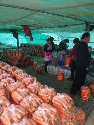 河南省开封市祥符区三红胡萝卜 15cm以上