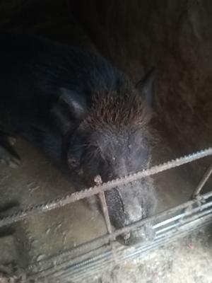 河北省保定市高阳县改良野猪 300斤以上 统货