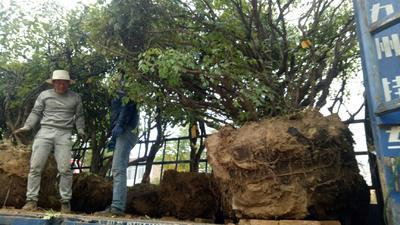 甘肃省定西市临洮县精品牡丹百年古树 8~10cm 10~12cm 2.5~3米