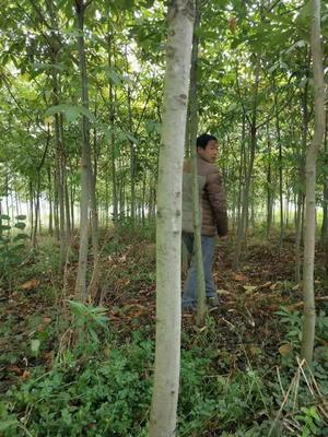 四川省雅安市名山区七叶树