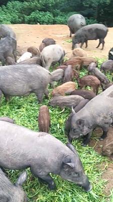 广东省汕尾市陆河县特种野猪 100斤以上 统货