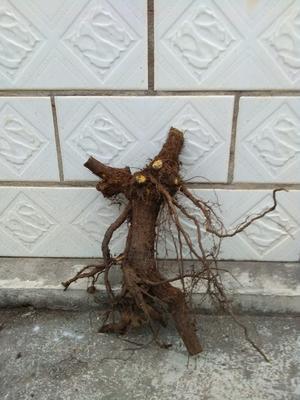 湖北省宜昌市长阳土家族自治县南天竹造型景观树