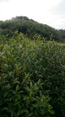 福建省三明市清流县湿地松树苗
