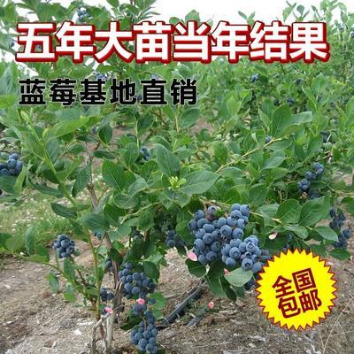 兔眼蓝莓苗