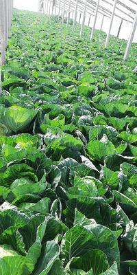 山东省青岛市平度市卷心包菜 3.5~4.0斤