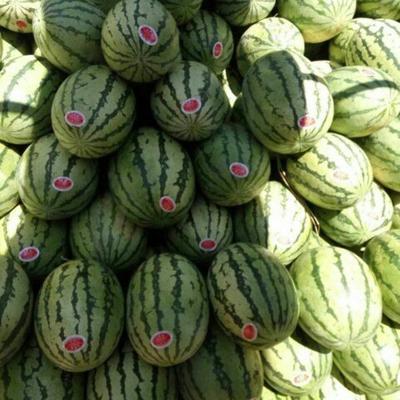 甘肃省白银市会宁县硒砂瓜 有籽 1茬 8成熟 10斤打底