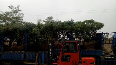 甘肃省定西市临洮县精品牡丹百年古树 2~4cm 4cm以下 0.5~1米
