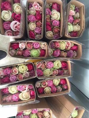 云南省昆明市呈贡区切花玫瑰