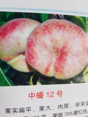 河南省周口市西华县黄金蜜1号 60mm以上 4两以上