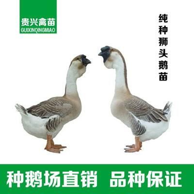 广西壮族自治区南宁市兴宁区狮头鹅苗