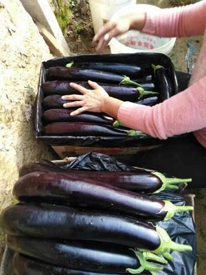 河南省开封市祥符区紫长茄 30~40cm 长茄