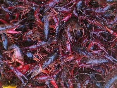 重庆渝北区红壳小龙虾 人工殖养 4-6钱