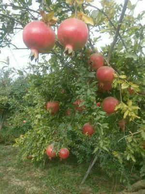 新疆维吾尔自治区和田地区和田市红石榴 0.6 - 0.8斤