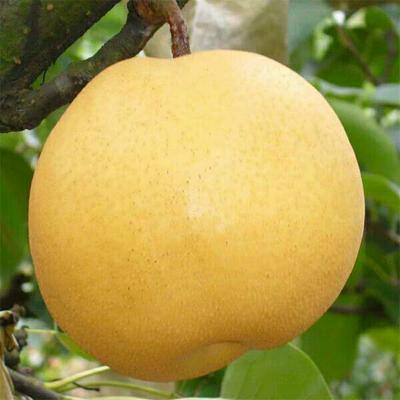 这是一张关于丰水梨苗 1~1.5米的产品图片