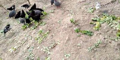 安徽省滁州市定远县乌骨绿壳蛋鸡 2斤以下