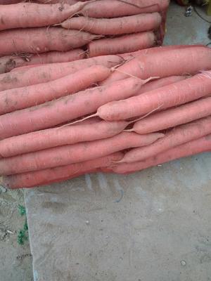 陕西省渭南市大荔县秤杆红萝卜 10~15cm
