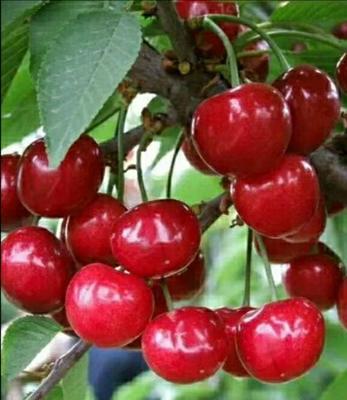 玛瑙红樱桃树苗 大樱桃品种美早樱桃苗