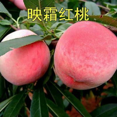 这是一张关于映霜红桃苗 1~1.5米的产品图片