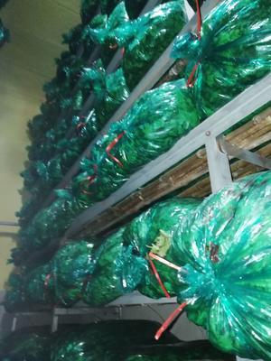 山东省青岛市莱西市大叶香菜 35cm以上