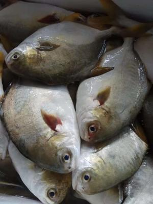 广西壮族自治区北海市海城区金鲳鱼  1斤1.2斤新鲜