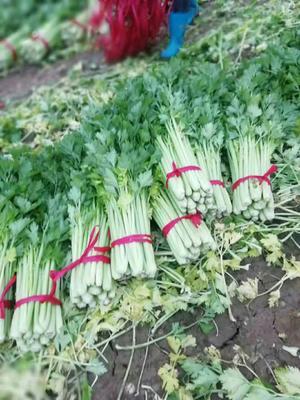 河南省商丘市夏邑县法国皇后芹菜 60cm以上 大棚种植 0.5~1.0斤
