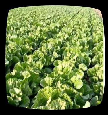 安徽省亳州市谯城区东北大矮白菜 6~10斤 净菜
