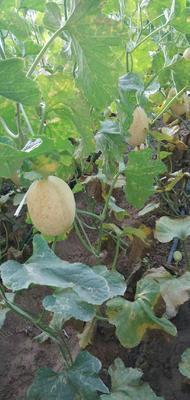 甘肃省酒泉市金塔县特小凤西瓜 有籽 1茬 9成熟 2斤打底