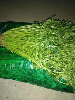 山东省莱芜市莱城区铁杆青香菜 35cm以上