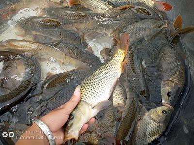 贵州省黔东南苗族侗族自治州凯里市稻花鱼 野生 0.25-1公斤