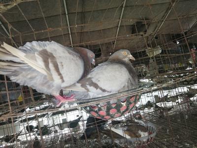 安徽省宿州市埇桥区肉鸽 500-600克