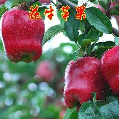 花牛苹果树苗 1~1.5米