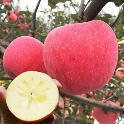 山东省临沂市平邑县红富士苹果苗 1~1.5米