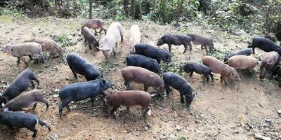 广西壮族自治区梧州市蒙山县特种野猪 60斤以上 统货