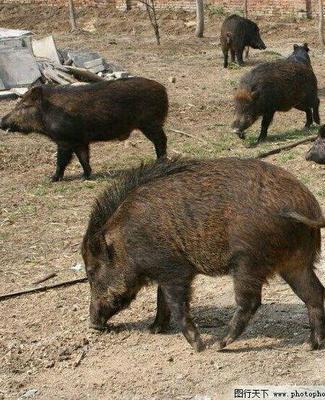 内蒙古自治区通辽市库伦旗特种野猪 160-200斤 统货