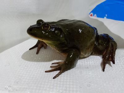 广东省佛山市南海区牛蛙