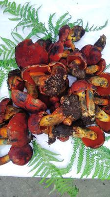 四川省凉山彝族自治州冕宁县红葱菌 野生 1%~3.0% 1.0%以下 鲜货