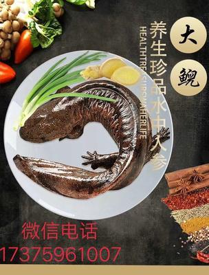 广东省广州市番禺区娃娃鱼人工养殖 5斤以下