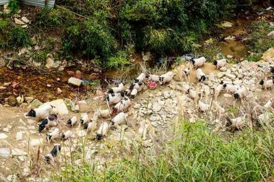 福建省南平市政和县巴马香猪 60斤以上