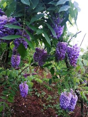 山东省泰安市岱岳区重瓣紫藤 2.5~3米 1~2公分