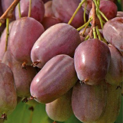 软枣猕猴桃苗 实生苗