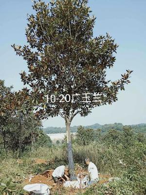 湖南省益阳市资阳区广玉兰