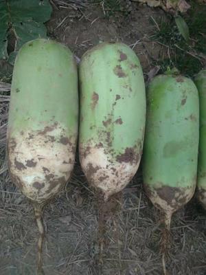 陕西省渭南市青皮萝卜 2~2.5斤