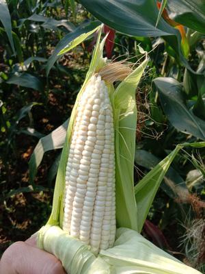这是一张关于白粘玉米2000 杂质很少 水份<14%的产品图片