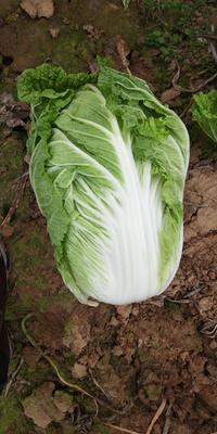 河南省南阳市新野县黄心大白菜 3~6斤 净菜