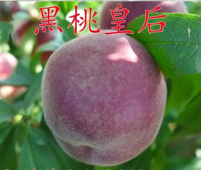 黑油皇后桃树苗 0.5~1米